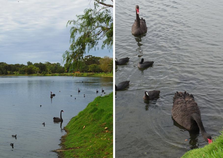 Blog un tour a deux perth australie travel voyage Monger Lake Black swan cygne noir