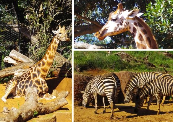 Girafes Zoo Perth - untouradeux.com