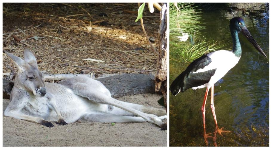 Kangaroo - Zoo Perth - untouradeux.com copie