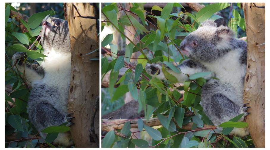 Kaola - Zoo Perth - untouradeux.com