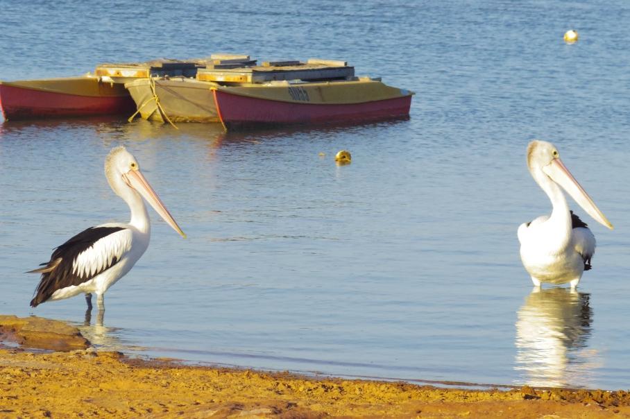 Kalbarri Pelicans by untouradeux.com