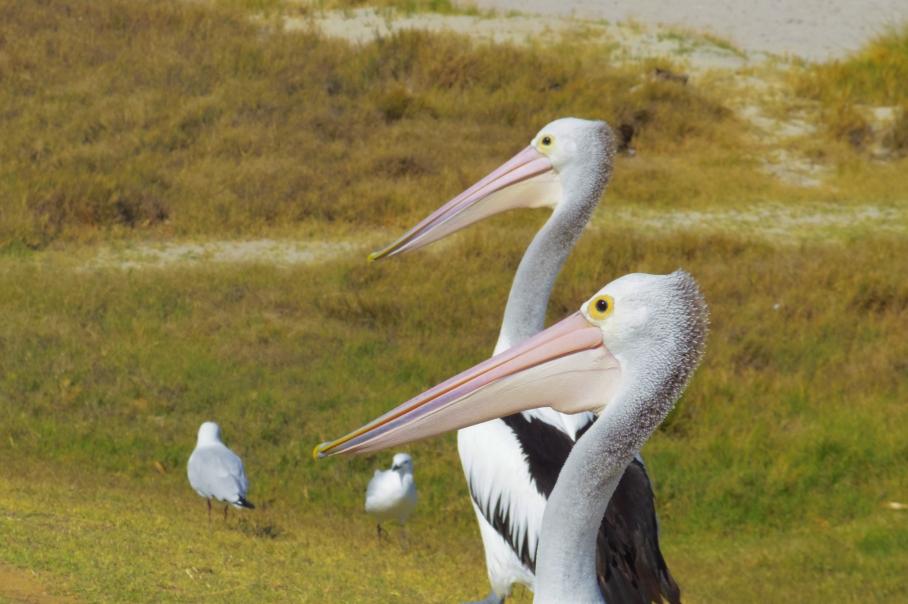 Kalbarri Pelicans by untouradeux