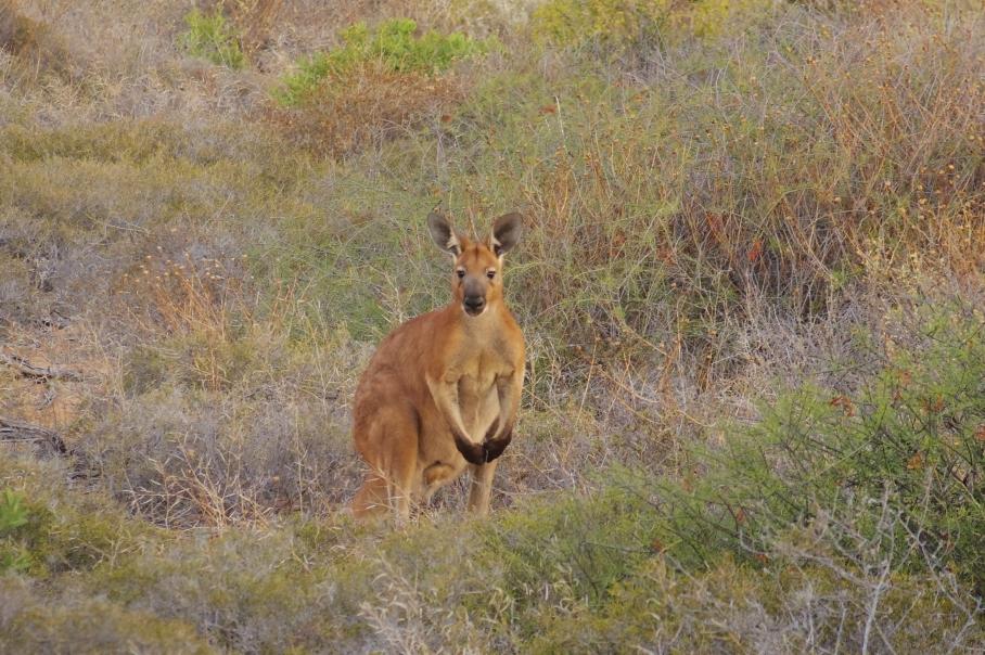 Kangaroo by untouradeux.com