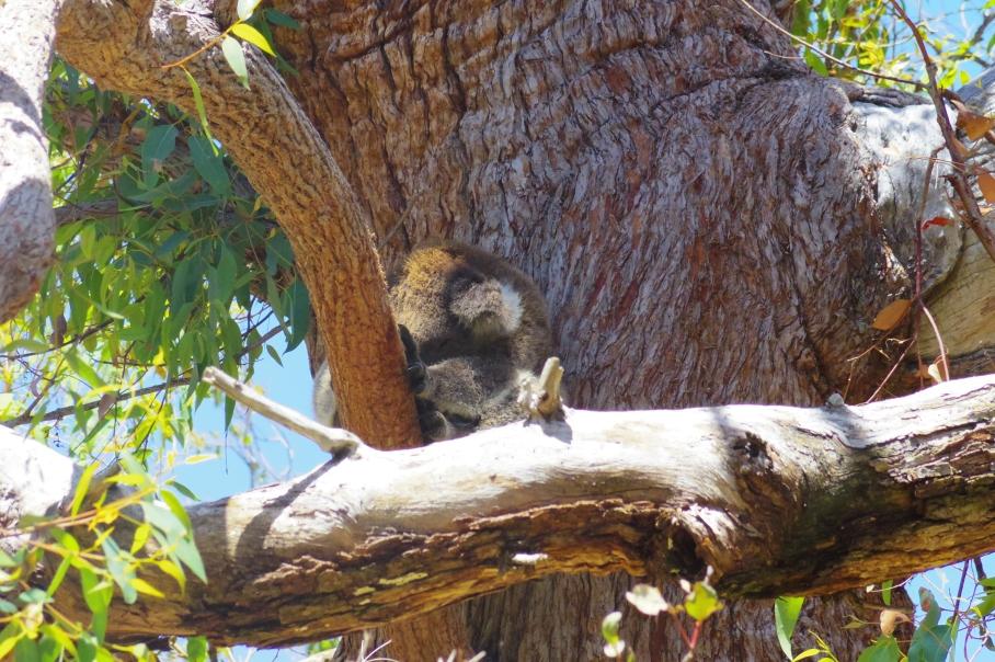 Yanchep koala by untouradeux.com