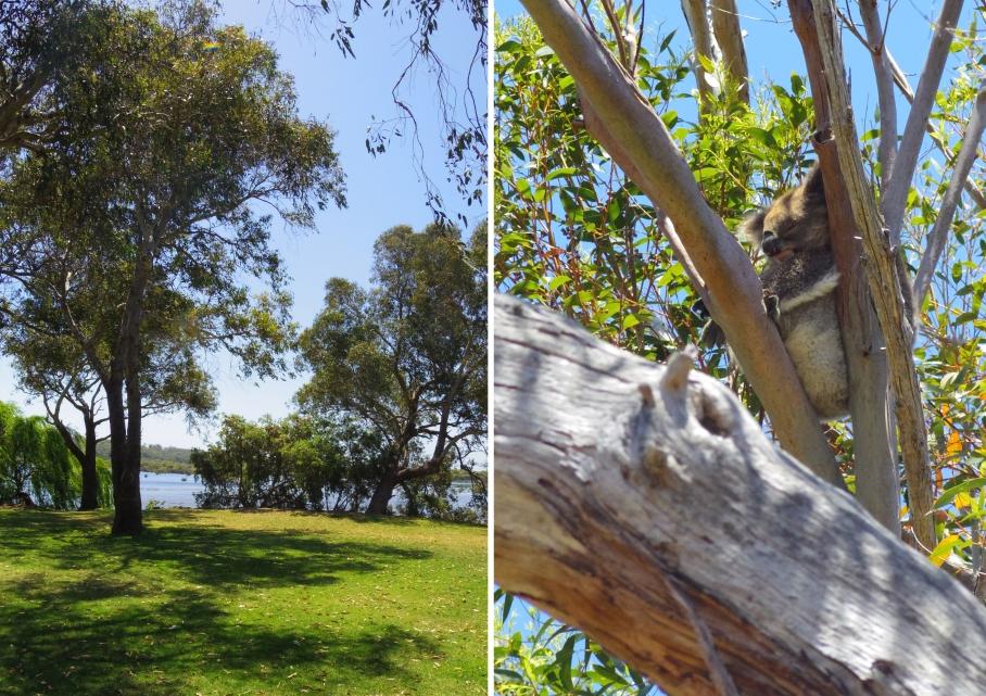 Yanchep koala by untouradeux