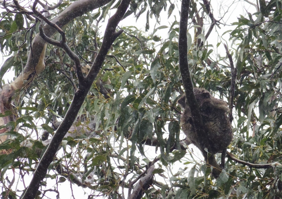 Un tour a deux travel voyage australie Melbourne Great Ocean Road Rainy Day View Poor Koala