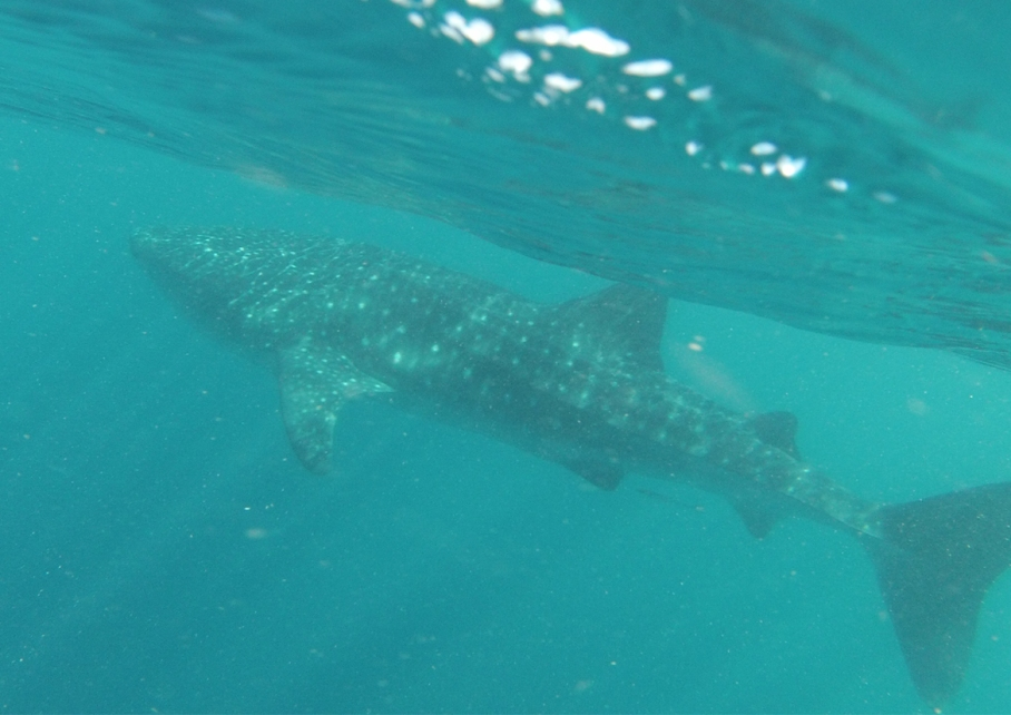 Un tour a deux Exmouth Voyage Australie Travel Requin baleine Whale shark So Big