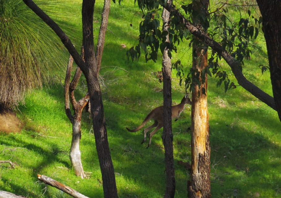 Perth Australie Voyage Blog Travel un tour a deux Trail Paruna Sanctuary Numbat track Hike Australia 17 kangourou