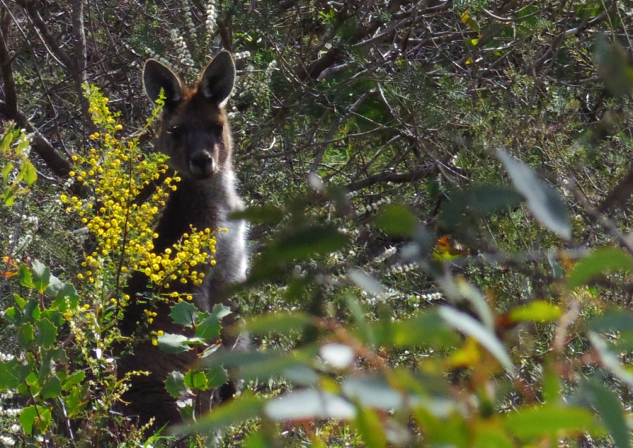 Perth Australie Voyage Blog Travel un tour a deux Trail Paruna Sanctuary Numbat track Hike Australia 7 kangourou