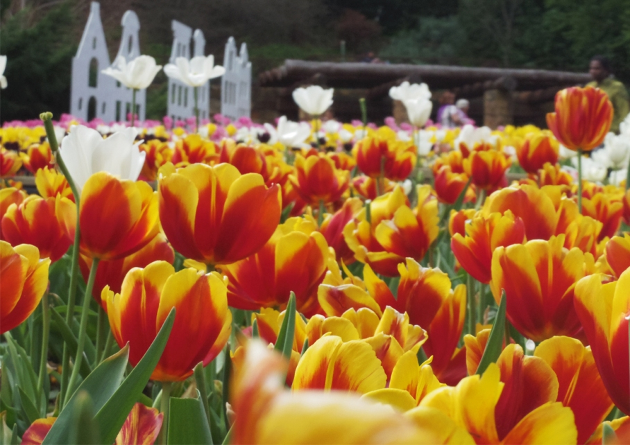 Un tour a deux blog voyage travel  perth australia araluen botnical garden tulip