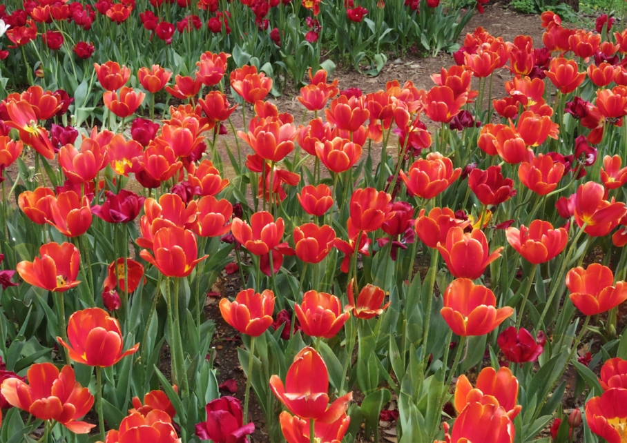 Un tour a deux blog voyage travel  perth australia botnical garden red tulip