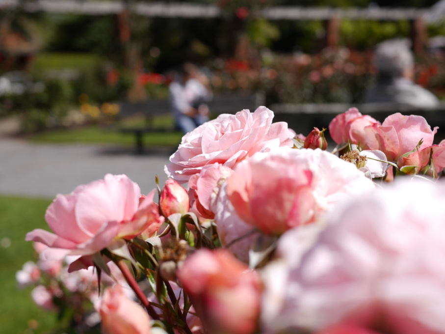 Un tour a deux blog voyage travel nouvelle zelande new zealand wellington botanical garden flowers roses
