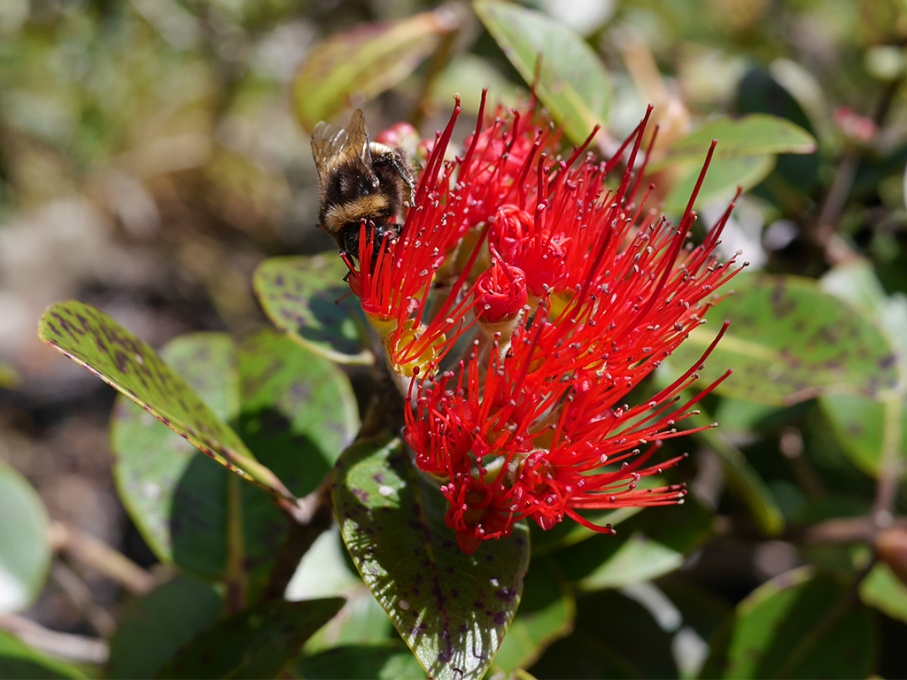 Un tour a deux blog voyage travel nouvelle zelande new zealand wellington flower red bee